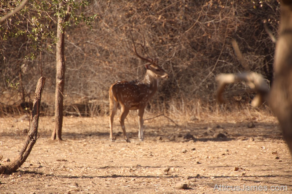 Chital Spotted Deer