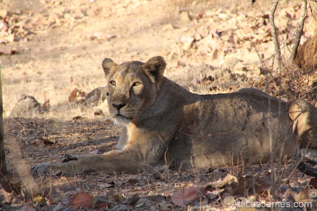 Gir Jungle Lion