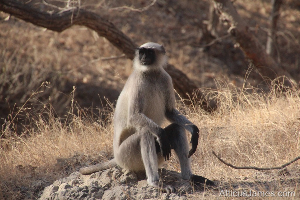 Monkey In Gir